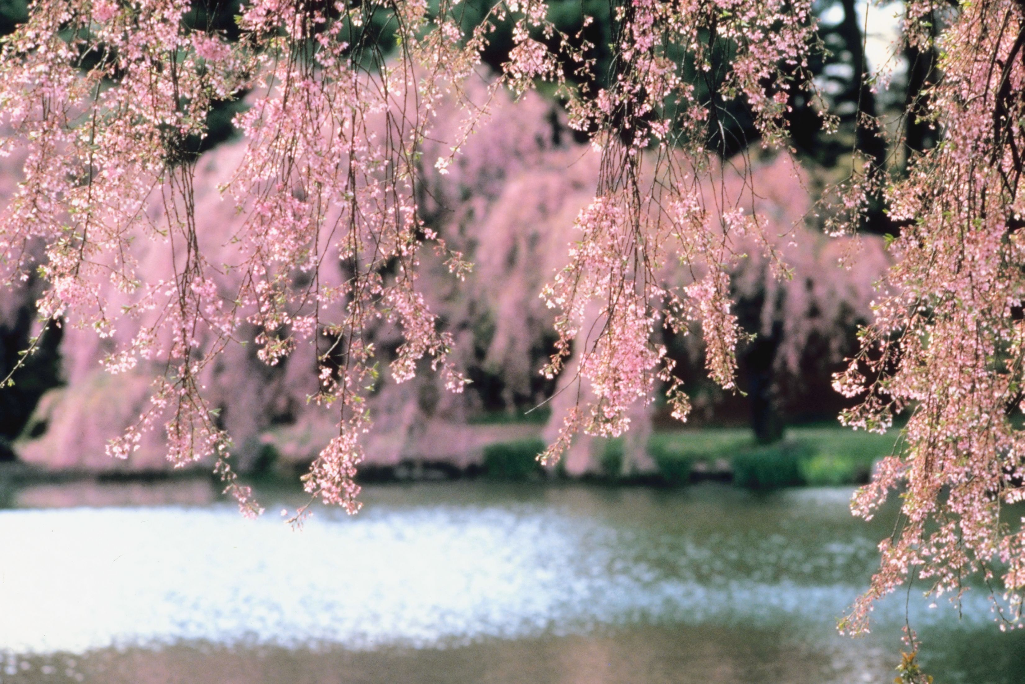 How To Care For A Weeping Cherry Tree Weeping Cherry Tree