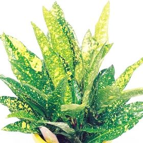 superstar croton one of over 400 varieties from exotic angel plants over 400 different. Black Bedroom Furniture Sets. Home Design Ideas