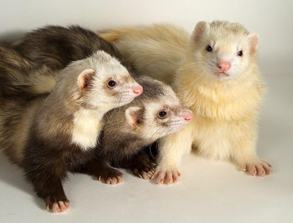 Bc Spca Victoria Bcspcavictoria Nov 17 Did You Know That A Group Of Ferrets Is Called A Business Put Your Best Suit And Tie On And Come Adopt This Trio
