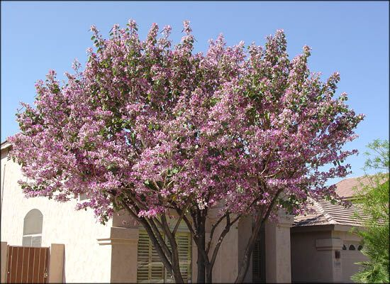 Orchid Tree Bright Pink And White Flowers With Fragrant Aroma Colorful Trees Big Tex Tree Nurseries Orchid Tree Purple Orchids Purple Flowering Plants