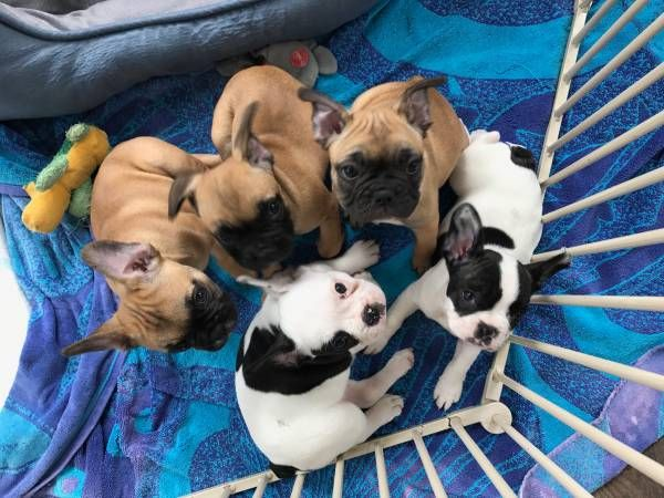 French Bulldog Puppy For Sale In Chicago Il Adn 34563 On