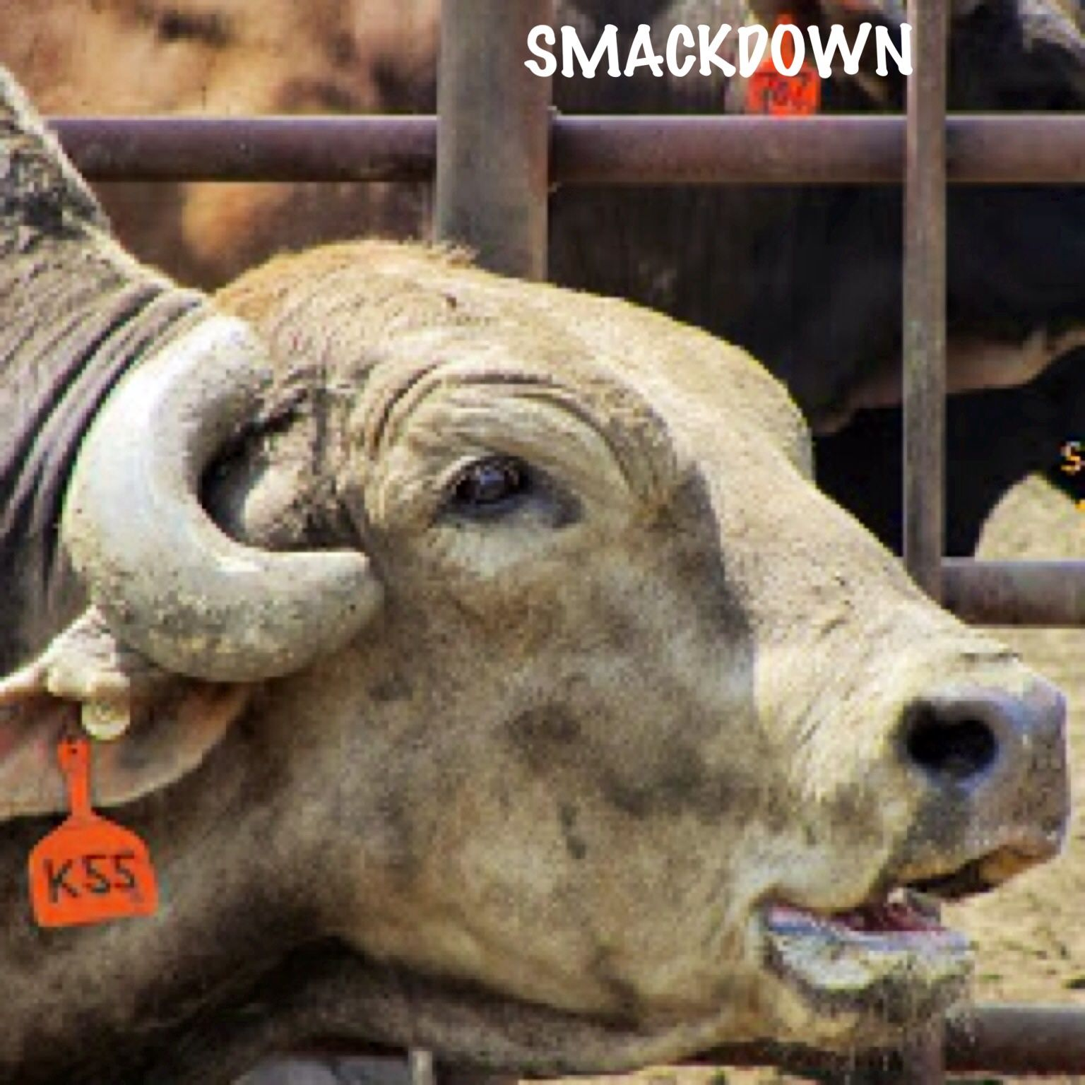 Smackdown Is A Good Looking Bull From Chad Berger Bucking