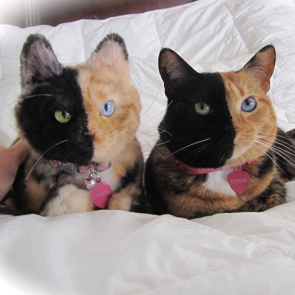 Theperfectworldwelcome Cuteoverload Venus The Twofaced Cat - Venus two faced cat