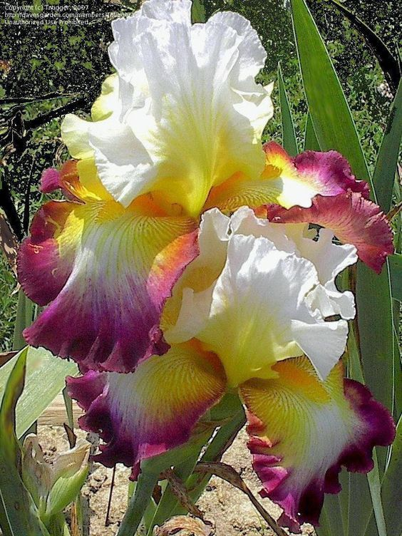 Gorgeous Multi Colored Irises Iris Flowers Beautiful Flowers Amazing Flowers