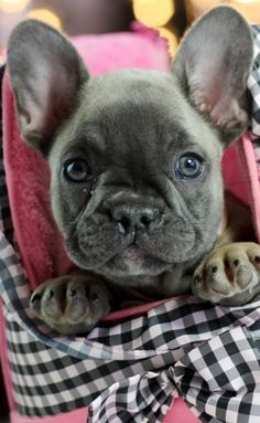 French Bulldog Puppy French Bulldog Puppies Bulldog Puppies Bulldog Puppies For Sale