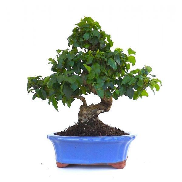 acheter en ligne ce tr s beau bonsai d 39 int rieur ligustrum chinensis de 36 cm 140109. Black Bedroom Furniture Sets. Home Design Ideas