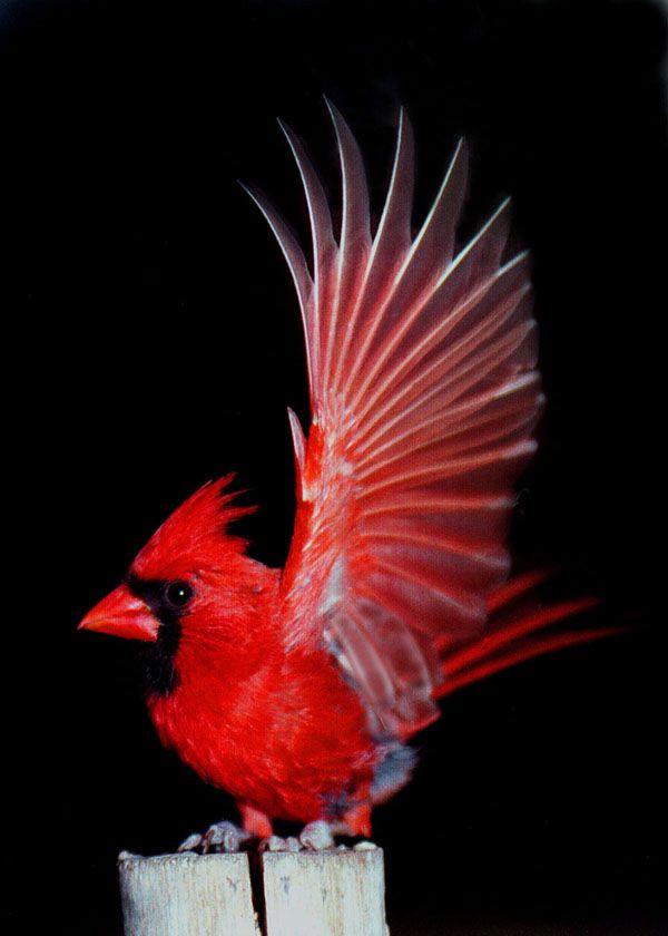 Red Cardinal Beautiful Birds Cardinal Birds Birds