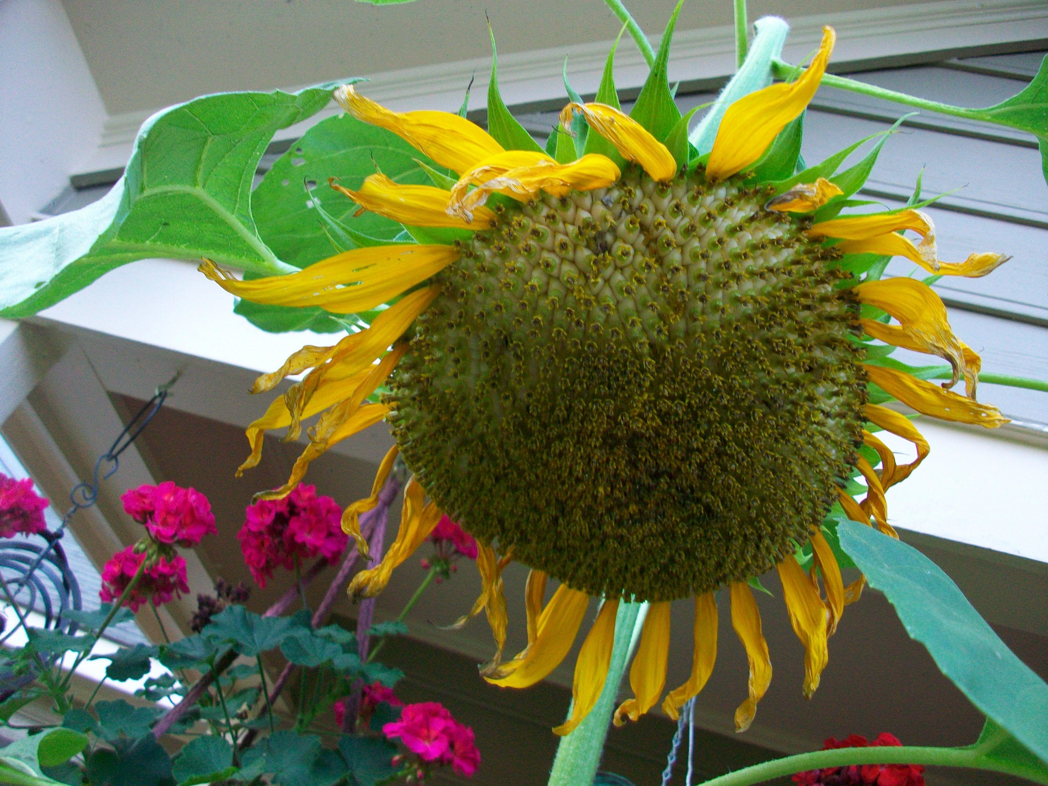 Mammoth Russian sunflower, 13 feet tall :)