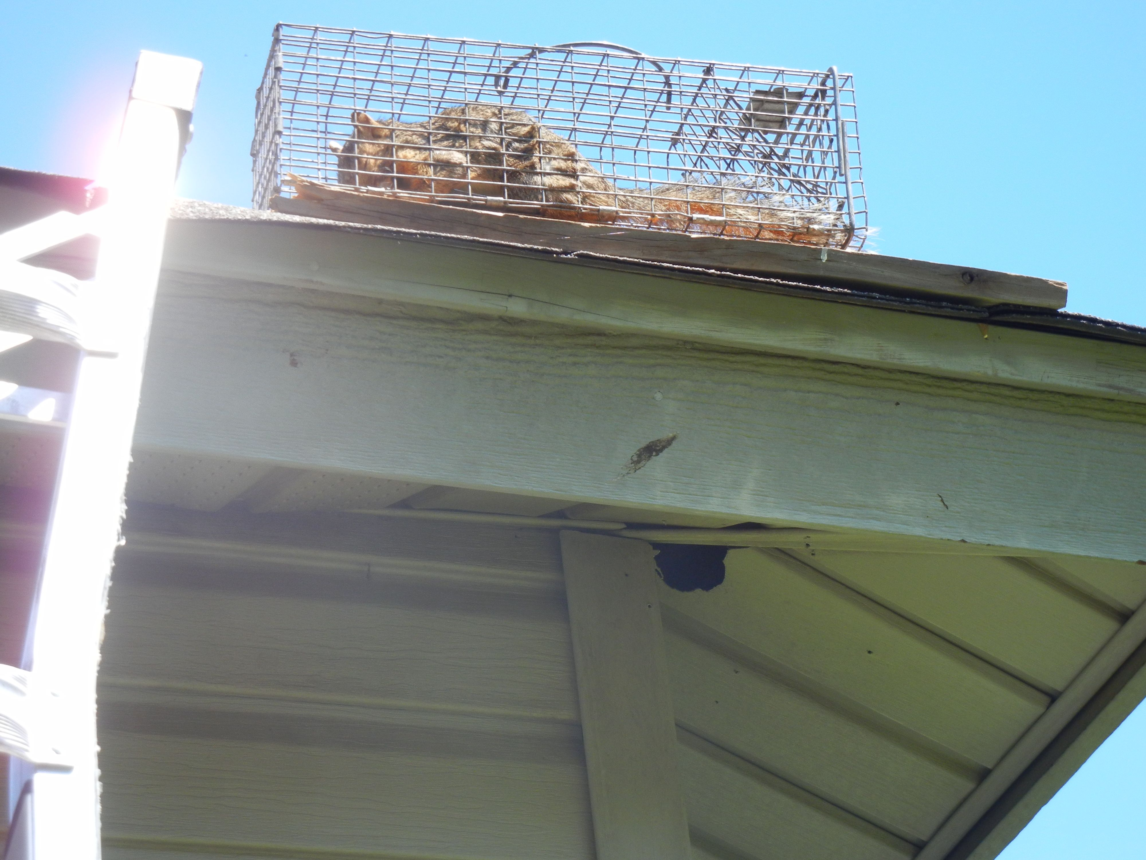 Caught This Squirrel On The Roof Before He Went Into His Hole He Made In The Siding Http Www Abolishpestwild Rat Exterminator Rodent Control Rodent Removal