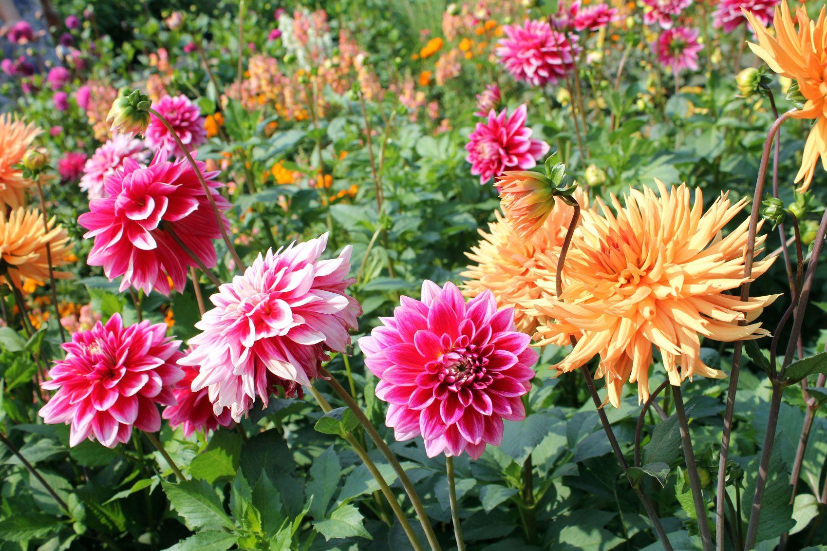 Dahlia Care How To Grow A Dahlia Plant
