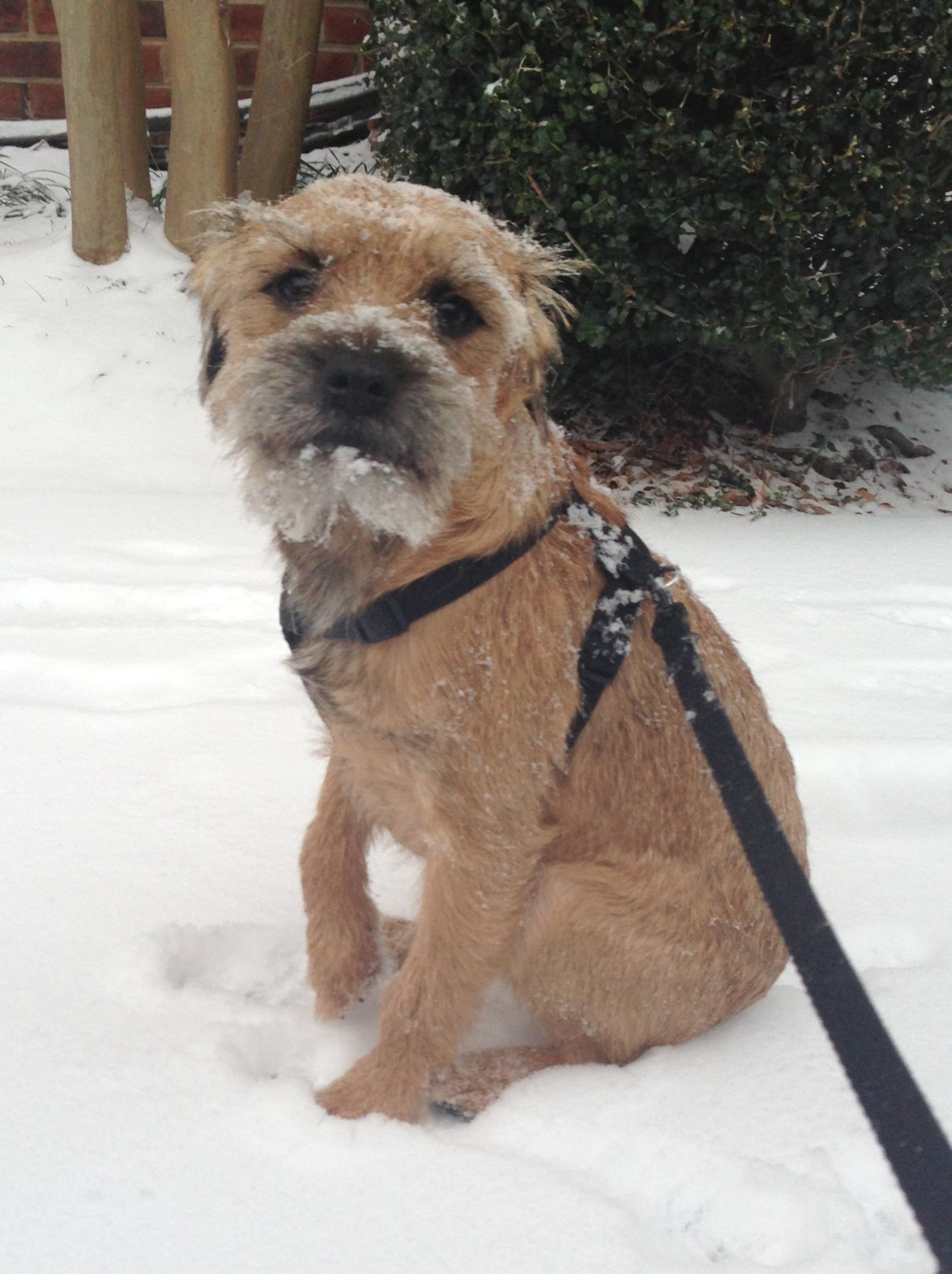 Obsessed With Border Terriers I Want Another One Rip Maisie Face