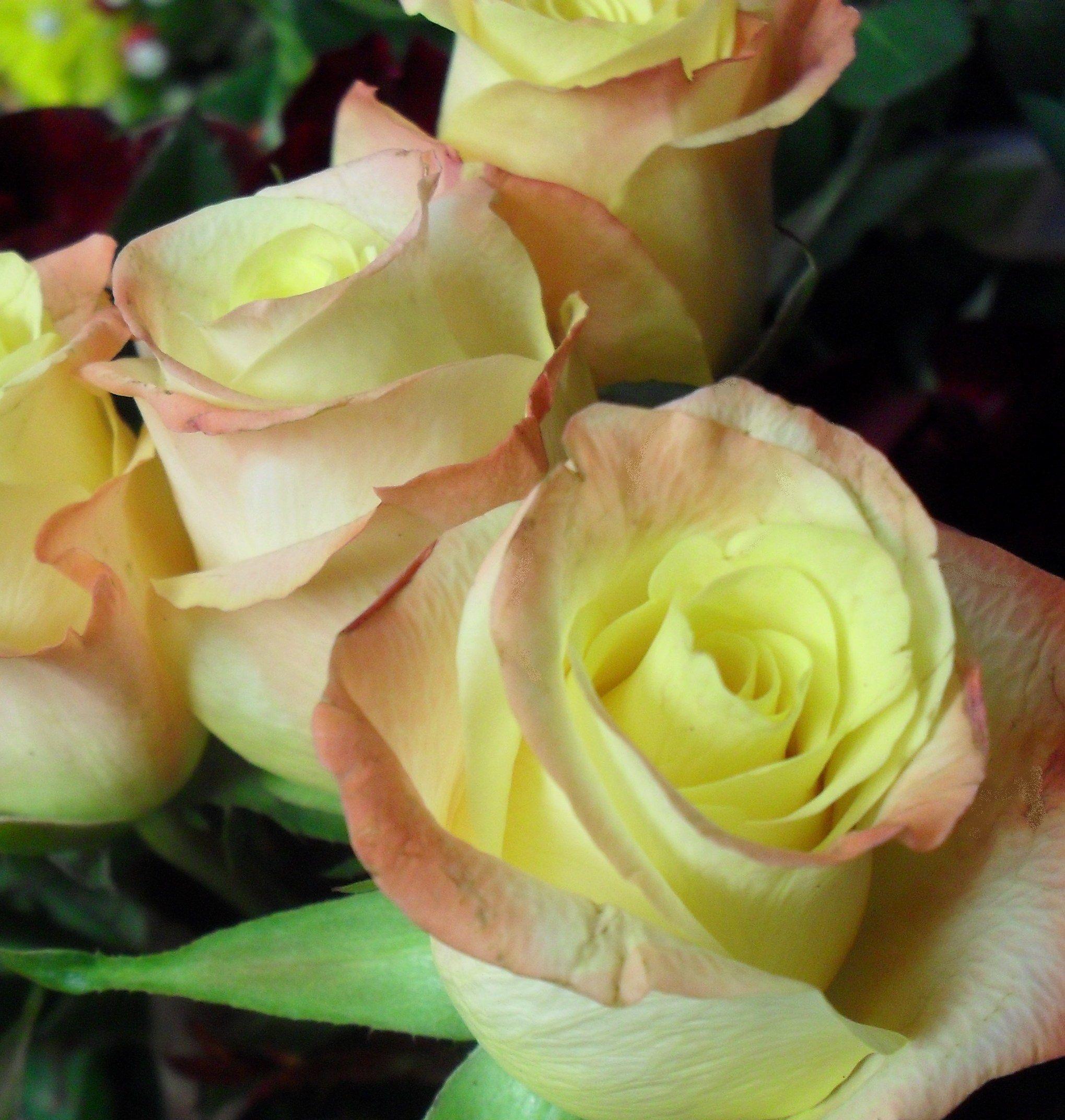 Rosebud dundee