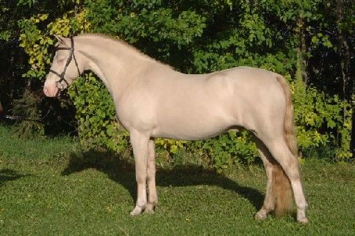 Smoky Cream Welsh Stallion The Key Rare Horse Colors Horses Horse Coat Colors