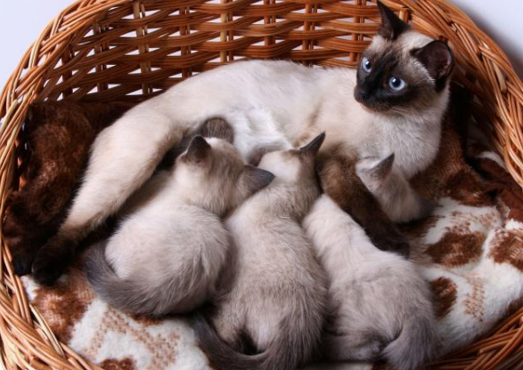 Siamese Kitten For Sale Around Me Adoption Guidelines Petco