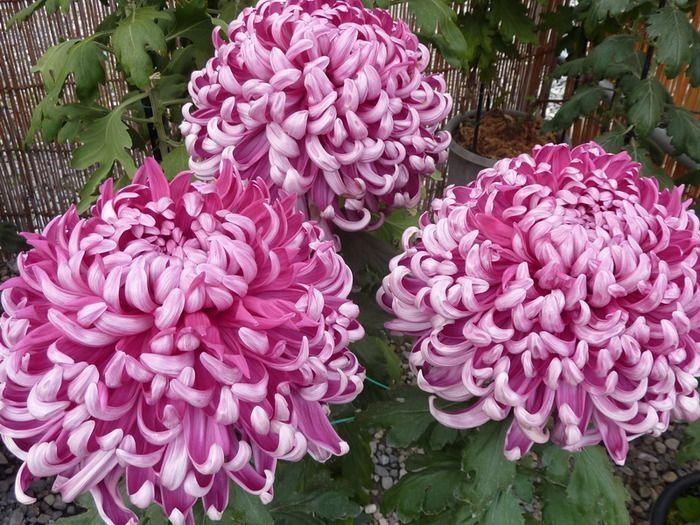 эремуруса хризантемы вьющиеся сорта фото это