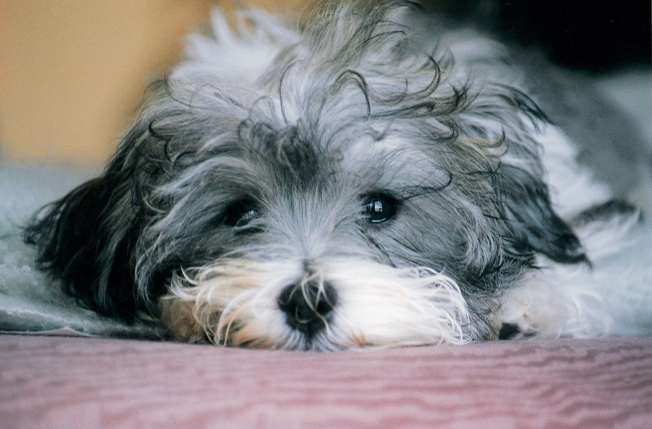 I will someday own a havanese :) And his name will be