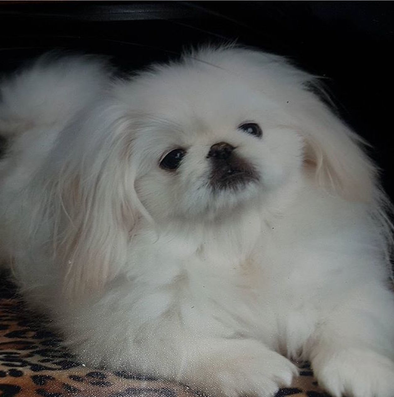 Pin By Paty Ds On Mascotas Pekingese Puppies Pekingese Dogs