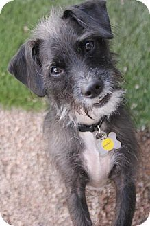 Pictures Of Marshall A Cairn Terrier Standard Schnauzer Mix For