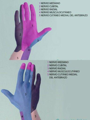 Area sensitiva según nervios de la mano cara palmar y cara dorsal ...