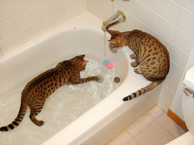 dad449cf99 Bengal cats -- Maybe this is what I need.... a cat who wouldn t mind the  water (for bath time).