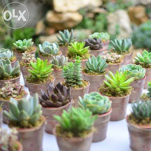 Wedding Trees For Sale: Wedding Souvenirs, Favors, Giveaways Made Of Succulent