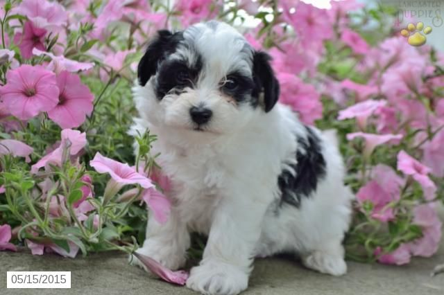 Havachon Puppy For Sale In Ohio Buckeyepuppies Havachon Puppies