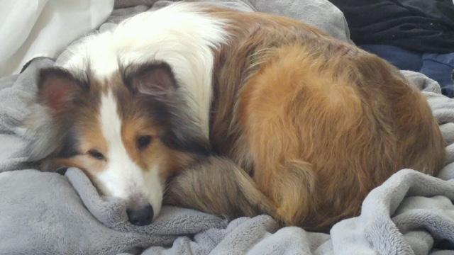 Adopt Prince on Shetland sheepdog, Sheltie, Pets