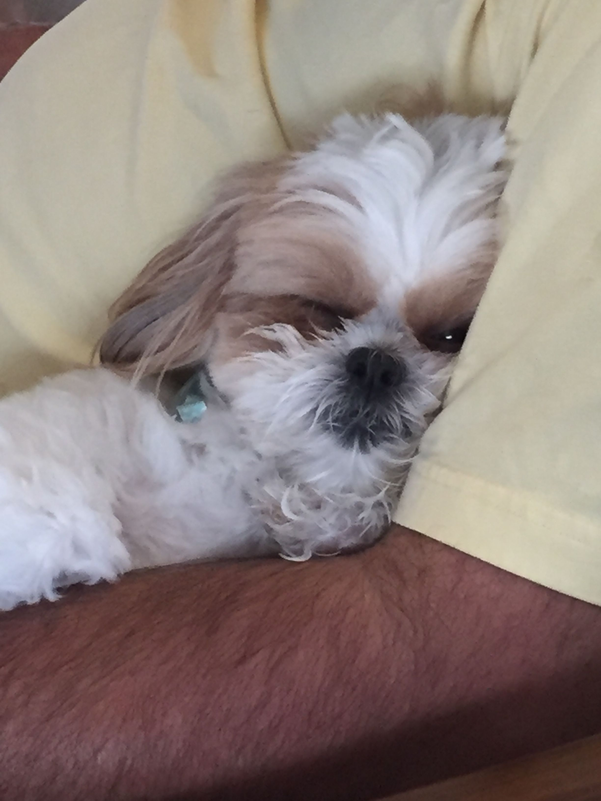 Don T Even Think About It Shih Tzu Dog Cute Small Dogs Cutest