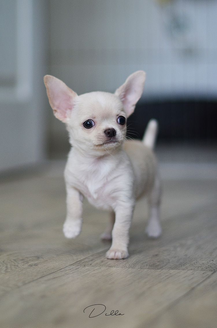 White Chihuahua Guy Dogstuffforsale Chihuahua Puppies