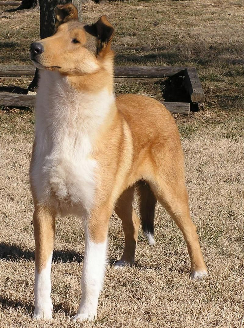 Tri Color Smooth Collie Looks Exactly Like Sonny Smooth Collie
