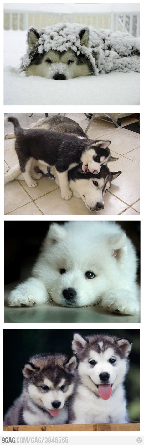 Huskies!! ♥ ..... never thought i would own a husky but i love our rescue husky so much!