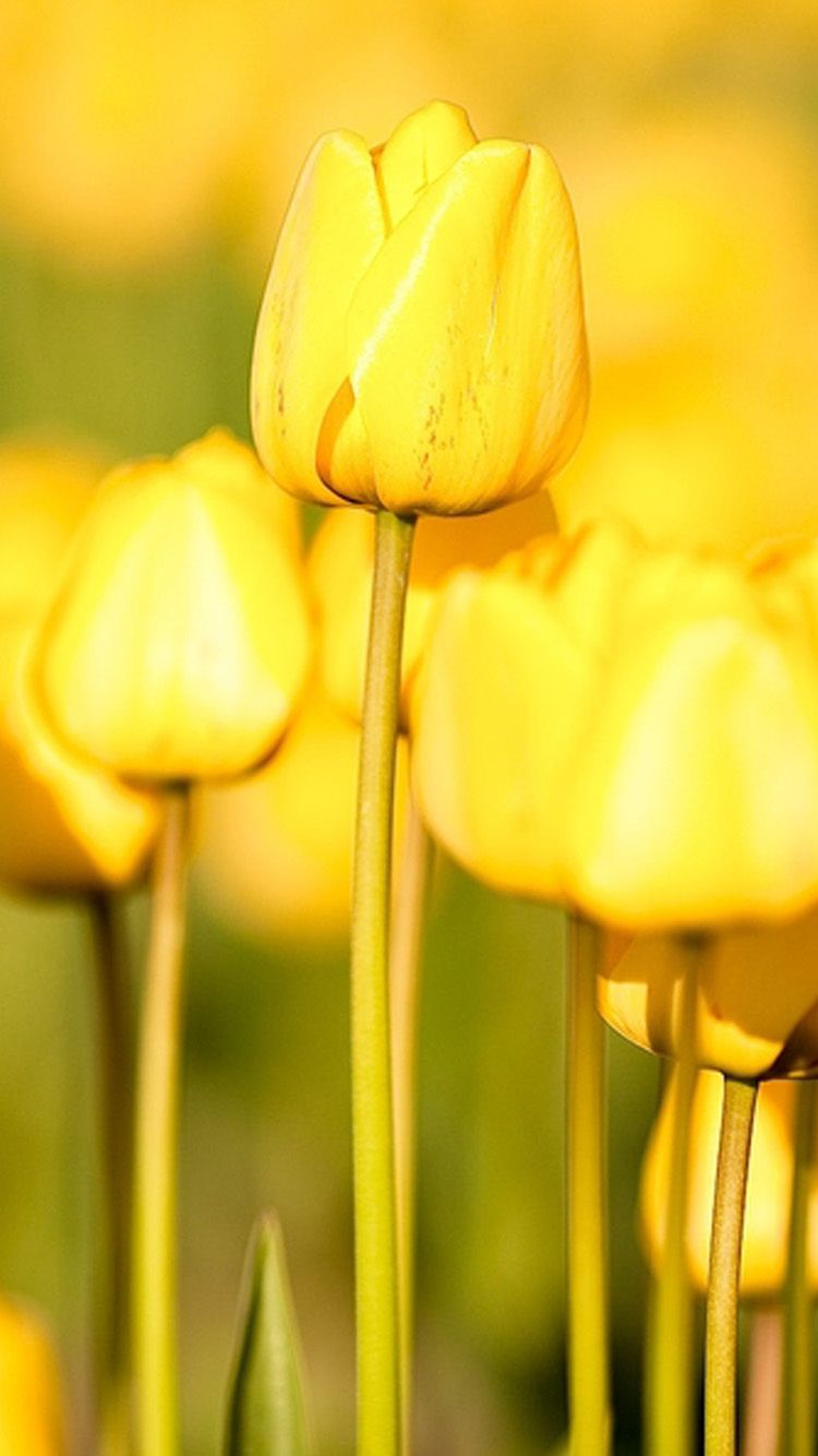 Flower Iphone 6 Wallpapers Hd Part 2 Nothin But Yellow