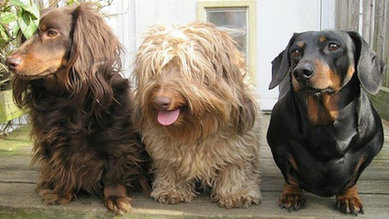 Dachshund, Wire Haired Dachshund, Long Haired Dachshund