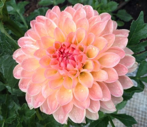 This Dahlia Is Classified As A Light Pink With A Light Orange Blend It Looks More Like A Peach Color A Nice Dahlia Flower Names Wonderful Flowers