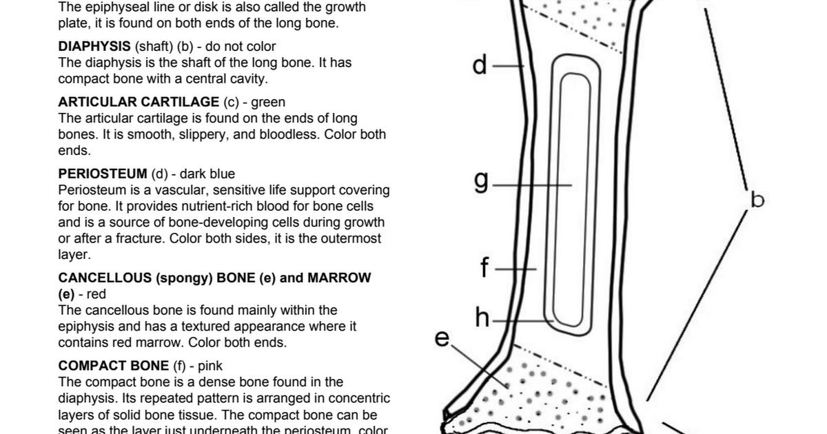 Bone Coloring.pdf | Anatomy | Pinterest