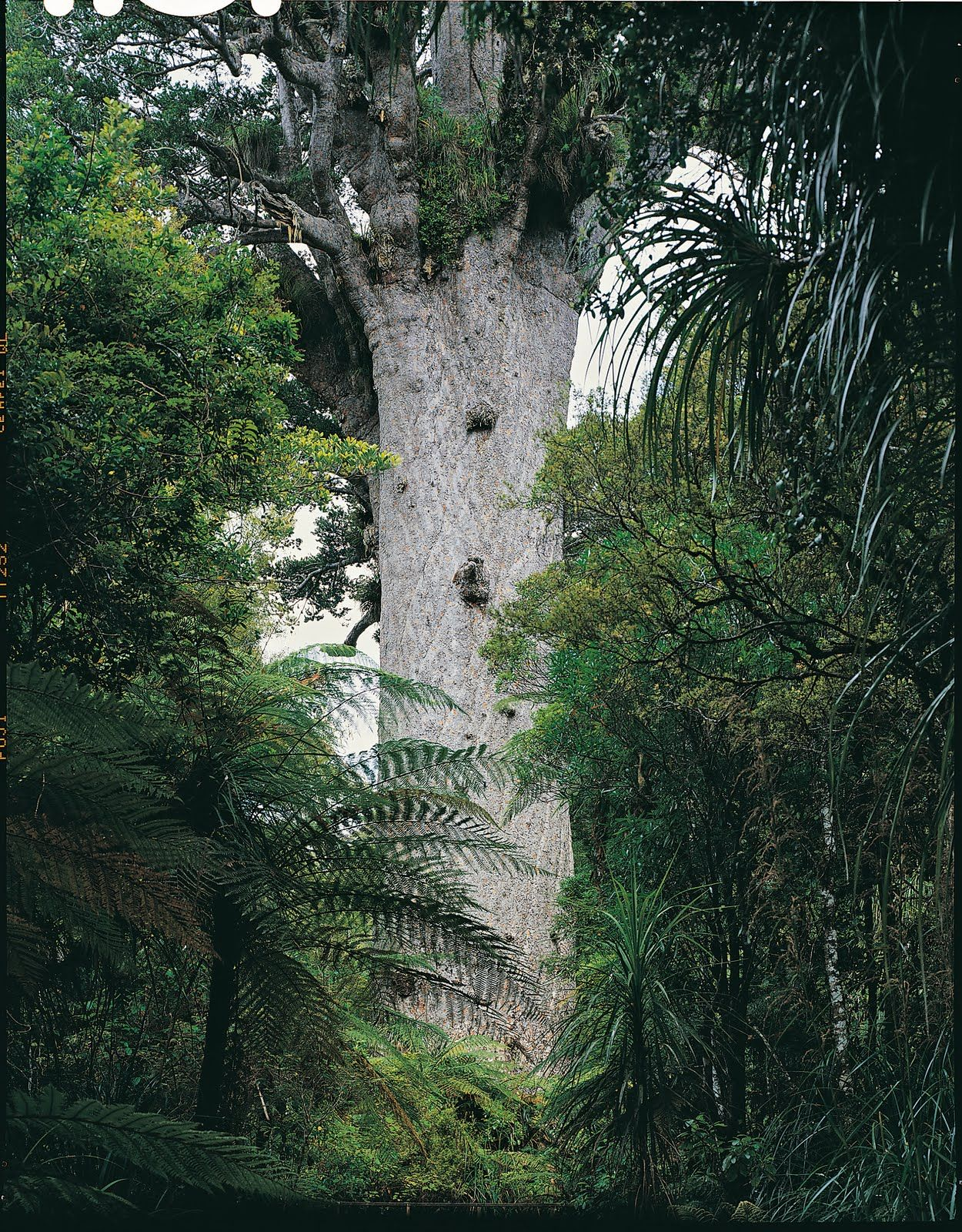 Tane Mahuta Is A Giant Kauri Tree In The Waipoua Forest Of New