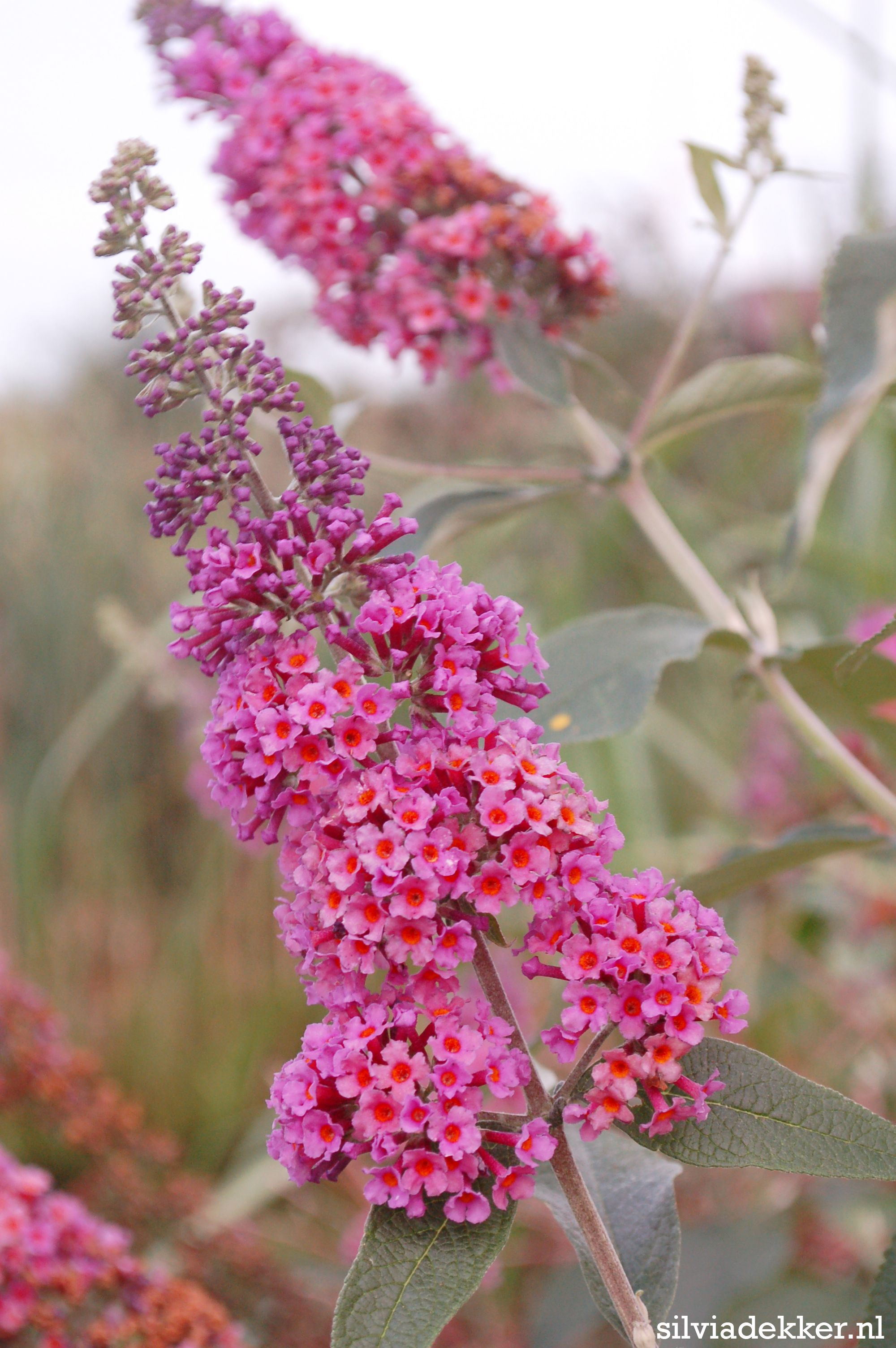Colour Changing Butterfly Bush (Buddleia) Flower Power. Follow Me On  Instagram For More