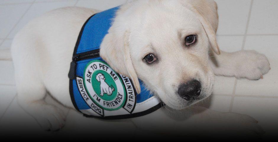Service Dog Training For Diabetes Seizures Narcolepsy Afib Pots