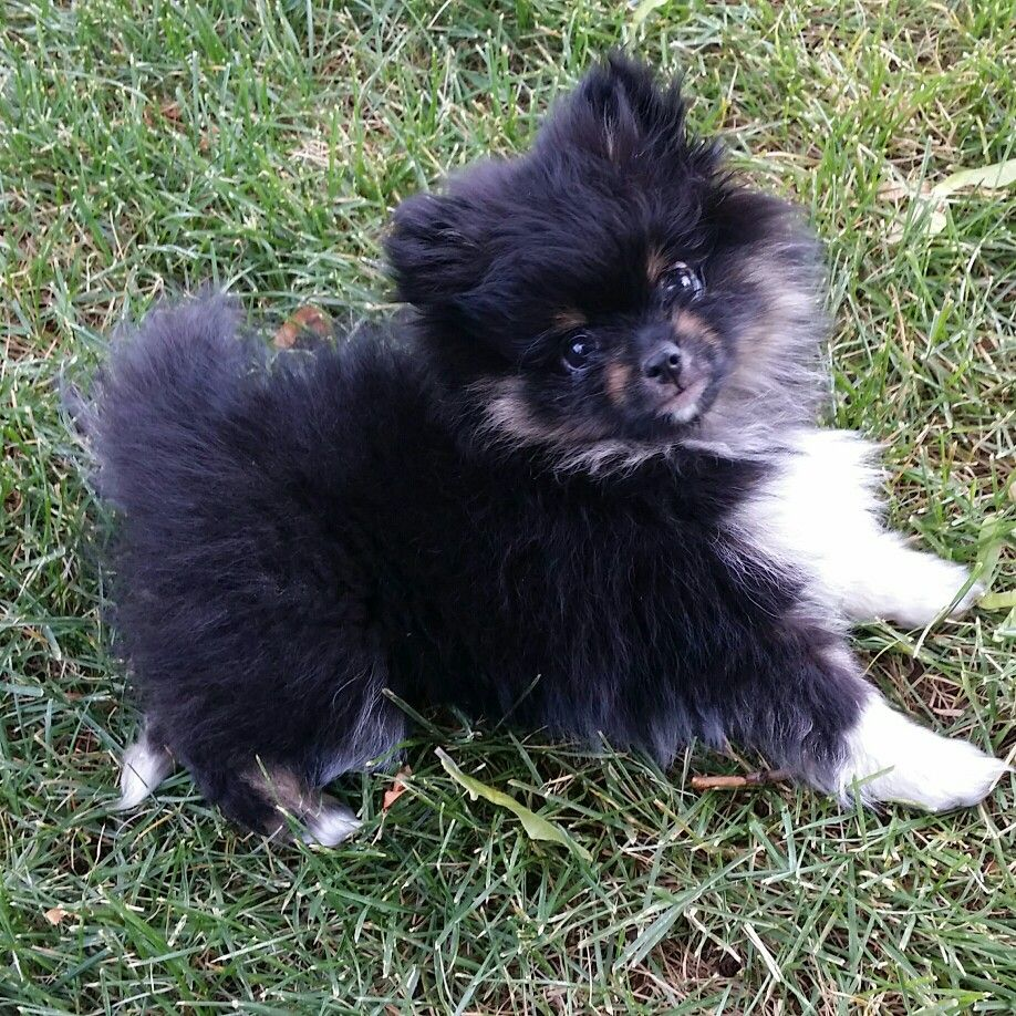 My female pomeranian at 12 weeks old her name is travieza