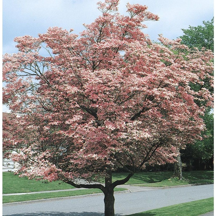 5 98 Gallon Pink Pink Flowering Dogwood Flowering Tree In Pot L3181 Lowes Com Flowering Trees Potted Trees Specimen Trees