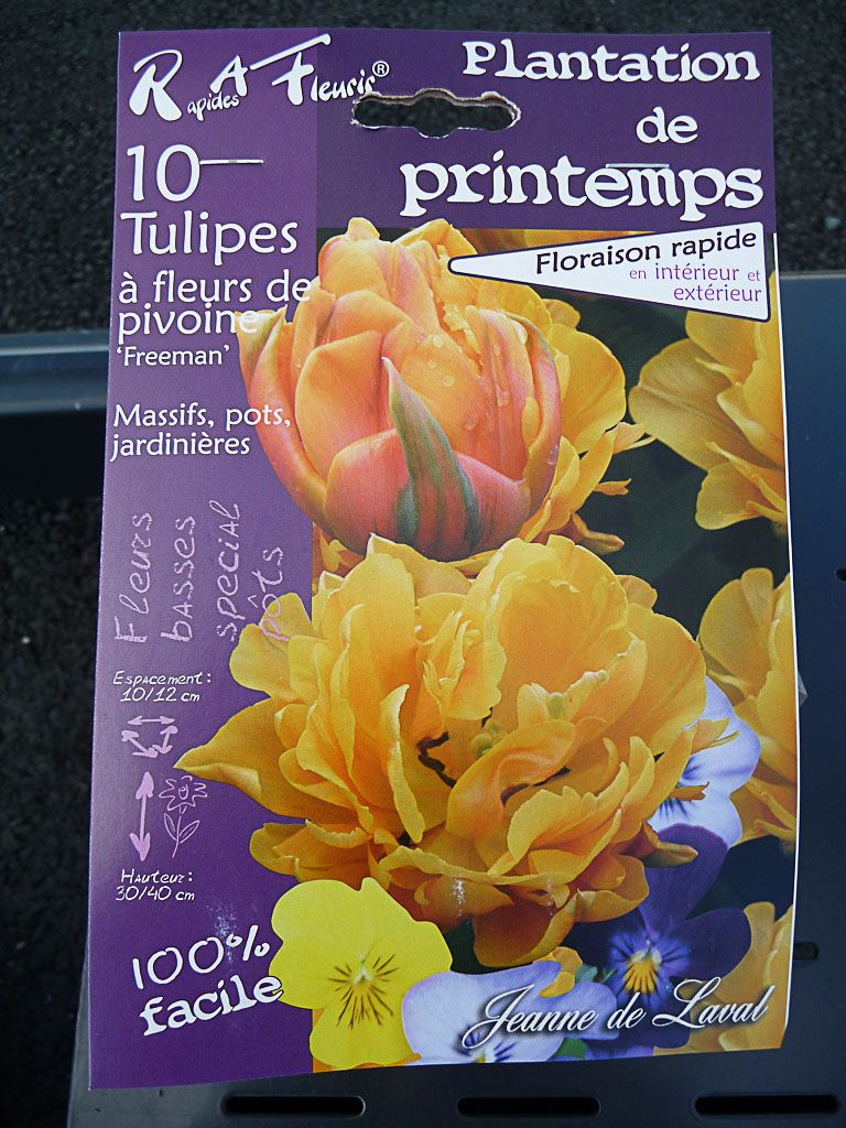 Des tulipes à planter au printemps Bulbe de tulipe