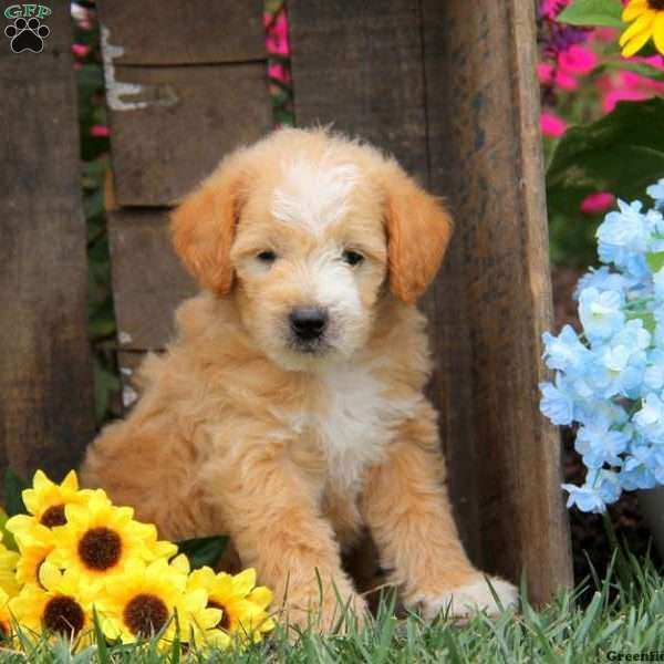 Ace Labradoodle Miniature Puppy For Sale In Pennsylvania