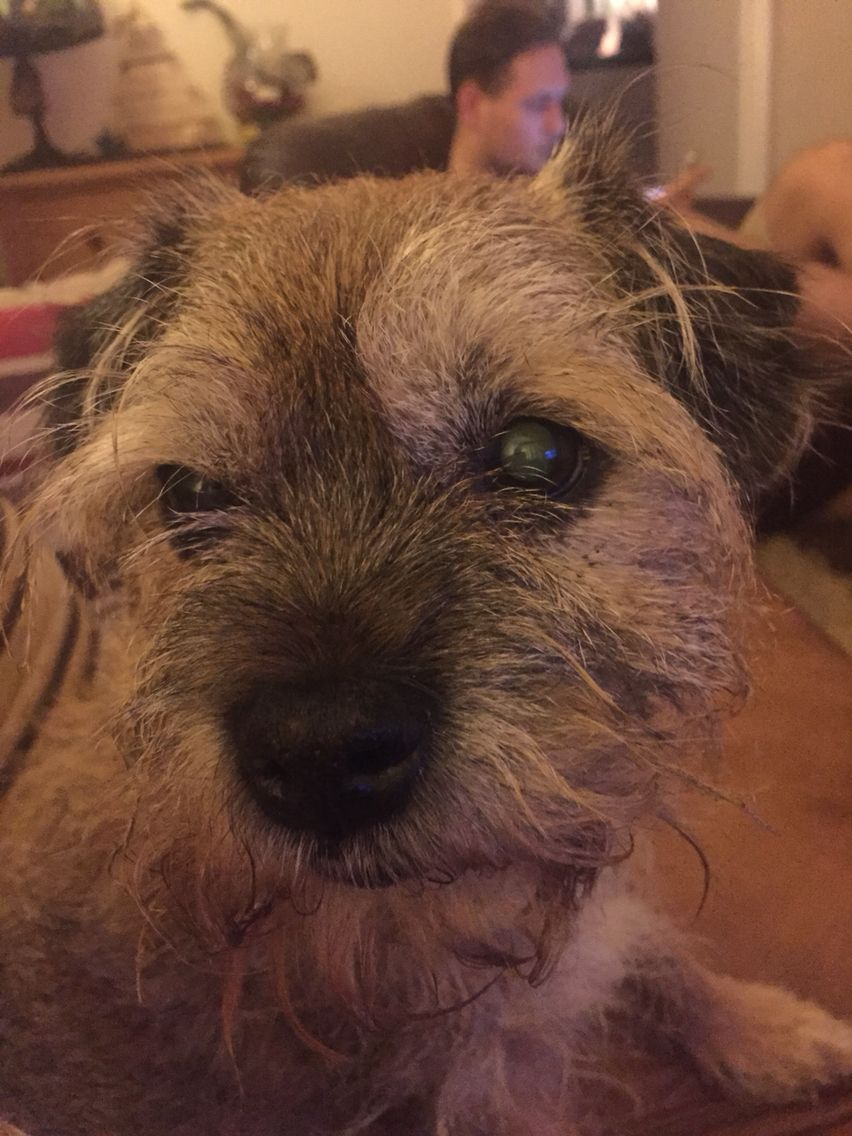 My Old Lady Squid Border Terrier Brown Dog Terrier