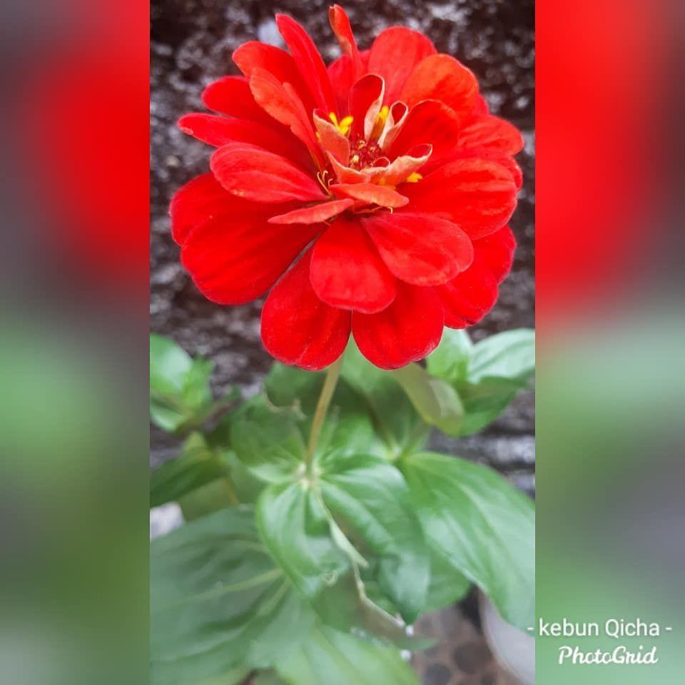 Bunga Kertas Merah Baru Ajah Beli Kmaren Ada Amang2 Lewat