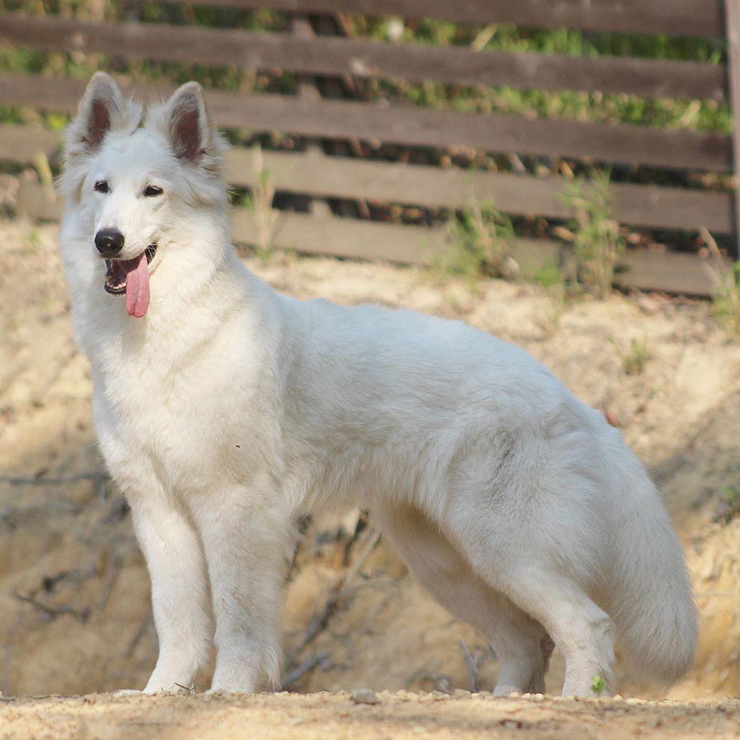 Angel Rose Of Yu Lala Jp 21 Months Female White Swiss Shepherd Dog Whiteswisssheperddog Schweizer Schaferhund Deutsch Schaferhunde Schaferhunde