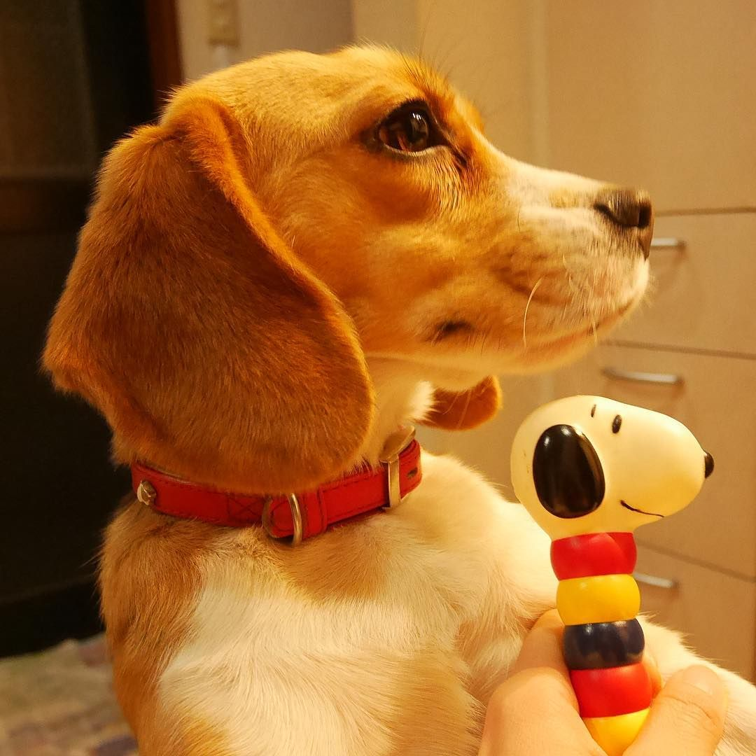 Most Inspiring Snoopy Beagle Beagle Adorable Dog - 68a07b335a1e4a2943394db3f13708dd  Best Photo Reference_969320  .jpg