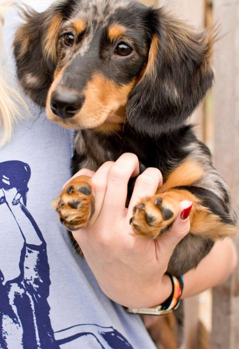 Pin By Randi Wadsworth On Doxie Life Sausage Dog Puppy Cute