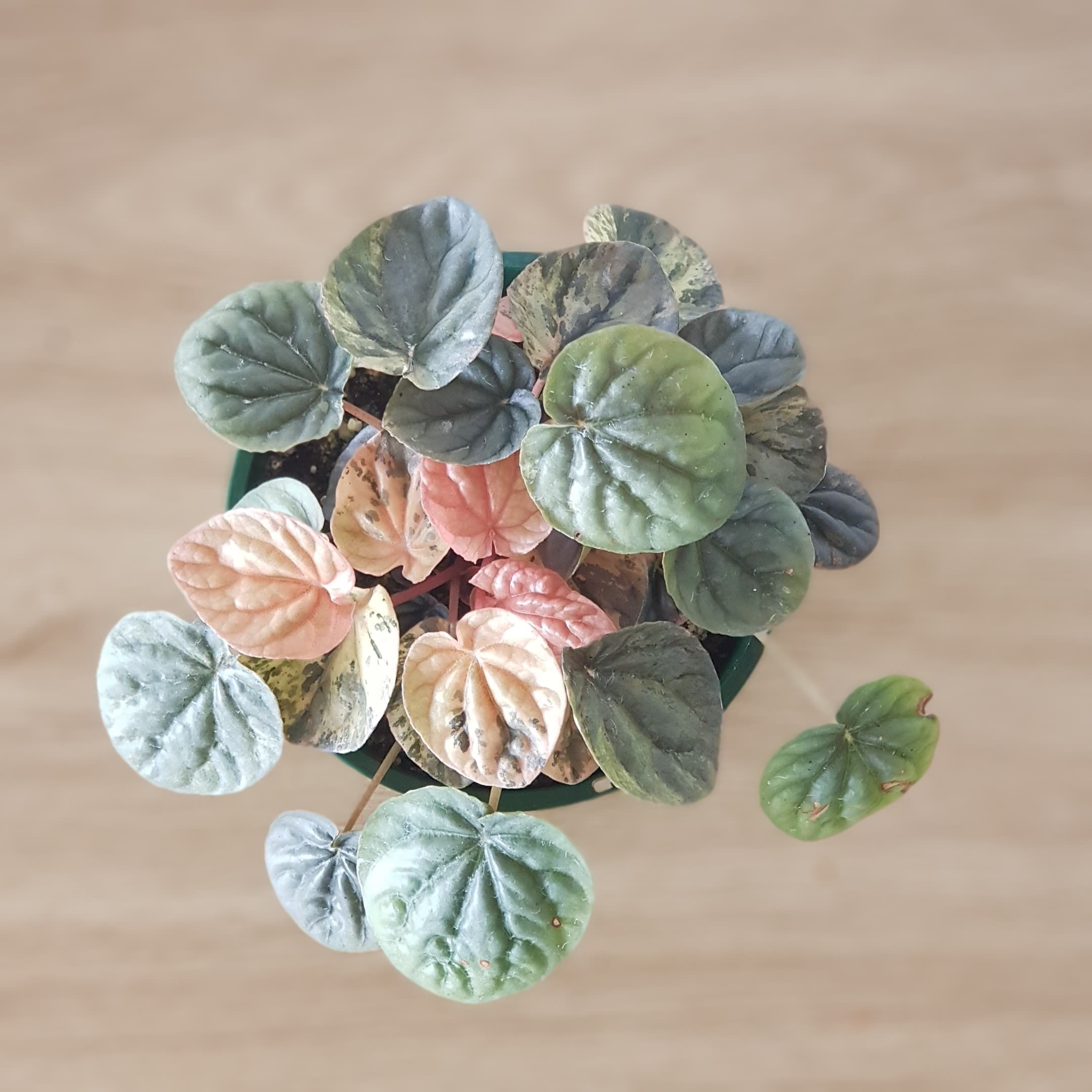 Pink lady peperomia #howtogrowplants