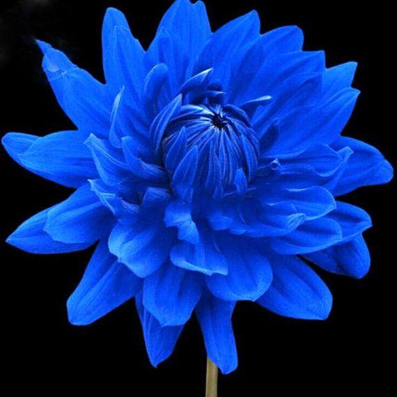 Rare Blue Dahlia Flower Seeds 50 Seeds Beautiful Outdoor Garden Plants Seeds Light Up Your Garden Bunga Dahlia Bunga Cantik Bunga