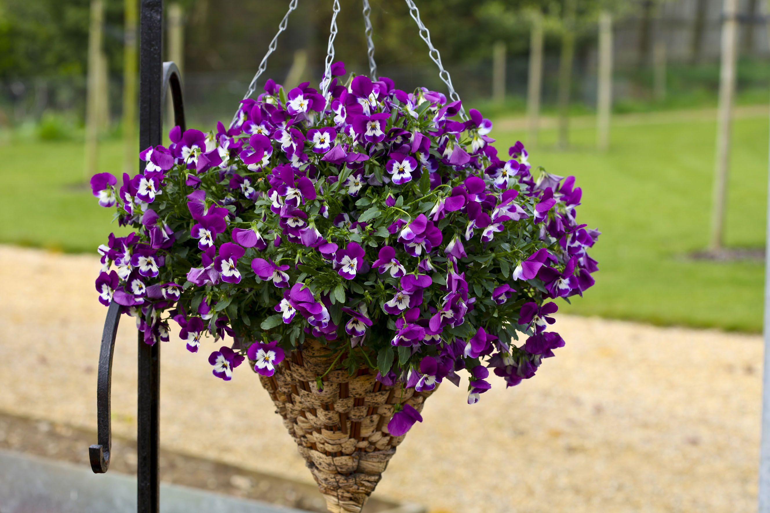 Pansy Freefall Purple White Face